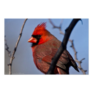 """""""A Glance"""" Red Male Cardinal Poster"""