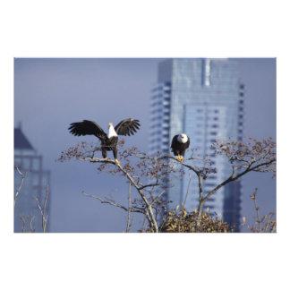 A good shot of a pair of bald eagles photo art
