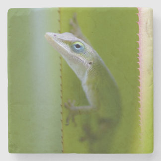A green anole is an arboreal lizard stone coaster