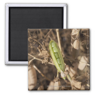 A Green Pea Pod On A Dried Pea Pod Plant Magnet