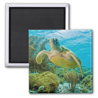 A Green Turtle On The Shallow Reefs Of Bonaire Square Magnet