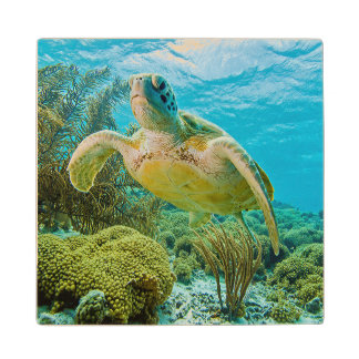 A Green Turtle On The Shallow Reefs Of Bonaire Wood Coaster