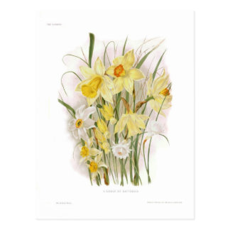 A Group of Daffodils Postcard