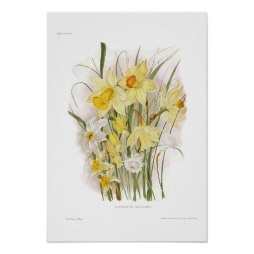 A Group of Daffodils Poster
