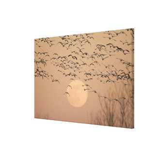 A group of migratory snow geese, Grus Gallery Wrapped Canvas