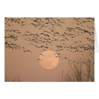 A group of migratory snow geese, Grus Card