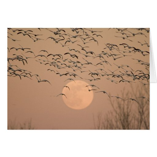 A group of migratory snow geese, Grus Cards