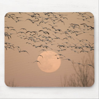 A group of migratory snow geese, Grus Mousepads