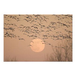 A group of migratory snow geese, Grus Photo Print