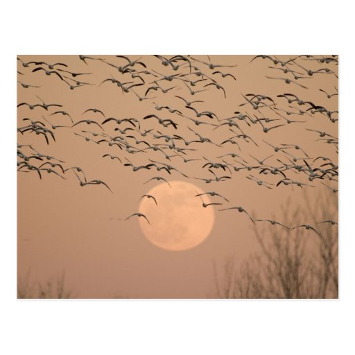 A group of migratory snow geese, Grus Post Card