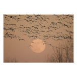 A group of migratory snow geese, Grus Poster