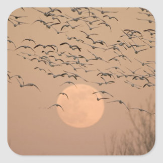 A group of migratory snow geese, Grus Square Sticker