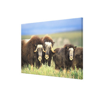 A group of muskoxen browse on willow shrubs on canvas print