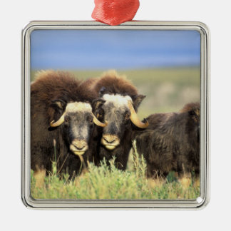 A group of muskoxen browse on willow shrubs on christmas ornament