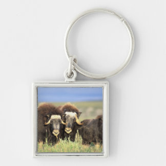 A group of muskoxen browse on willow shrubs on key ring