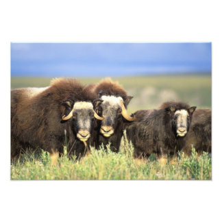 A group of muskoxen browse on willow shrubs on photo print