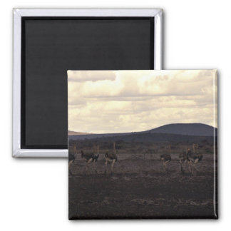A group of ostriches magnets