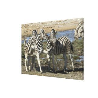 A group of Plains Zebra (Equus qagga) greet each Canvas Print