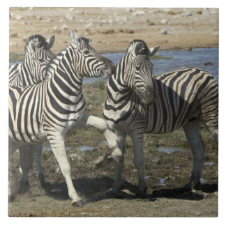 A group of Plains Zebra (Equus qagga) greet each Tile