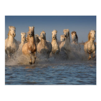 A Group Of White Horses In The Camargue Region Postcard
