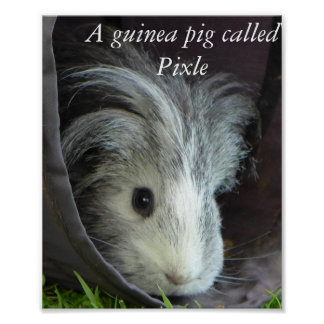 A guinea pig called Pixle poster