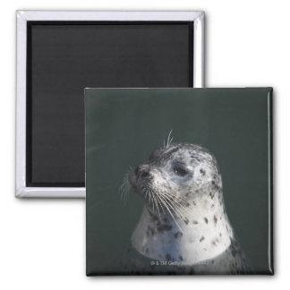 A harbor seal magnet