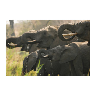 A Herd Of African Elephants (Loxodonta Africana) Canvas Print