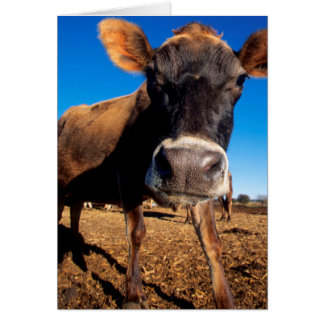 A Jersey cow being inquisitive Card
