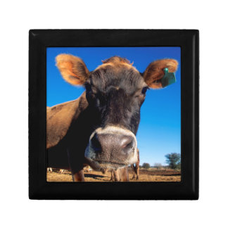 A Jersey cow being inquisitive Gift Box