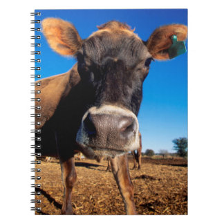 A Jersey cow being inquisitive Notebooks