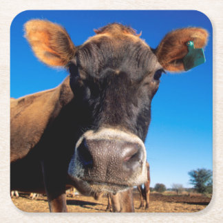A Jersey cow being inquisitive Square Paper Coaster