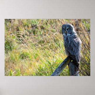 A juvenal Great Grey Owl 2 Poster
