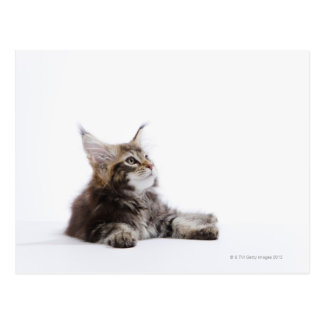A kitten of Maine Coon cat Postcard