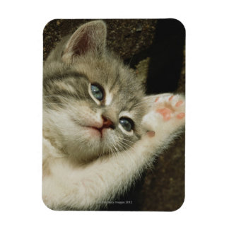 A kitten, with large blue eyes, lays on it's rectangular photo magnet