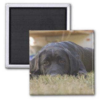 A Labrador Retriever puppy. Magnet