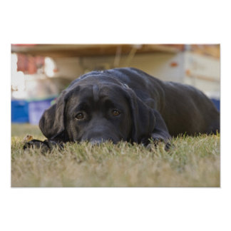 A Labrador Retriever puppy. Poster