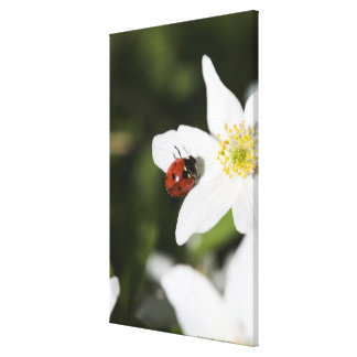 A ladybird on a wood anemone Stockholm Sweden. Canvas Print