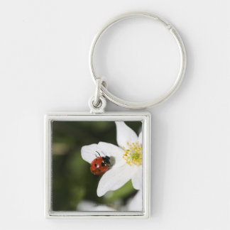 A ladybird on a wood anemone Stockholm Sweden. Key Ring