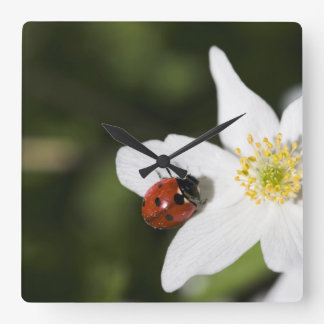 A ladybird on a wood anemone Stockholm Sweden Square Wall Clock