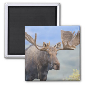 A large bull moose stands among willows 2 magnet