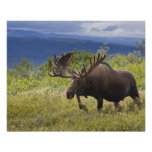 A large bull moose stands among willows poster