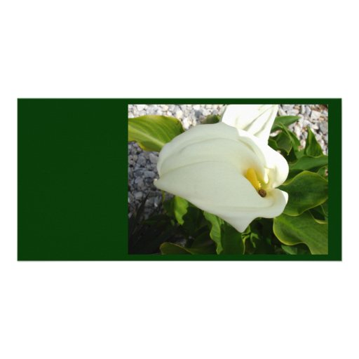 A Large Single White Calla Lily Flower Photo Card