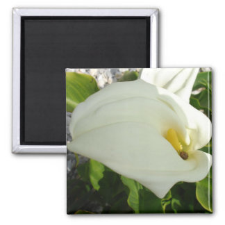 A Large Single White Calla Lily Flower Square Magnet