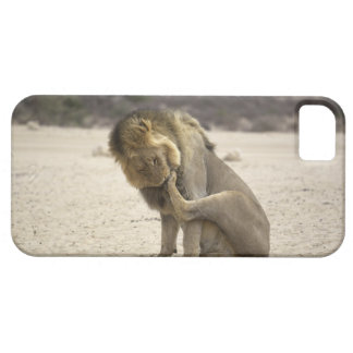 A Lion cleaning its back paw, Kgalagadi Barely There iPhone 5 Case