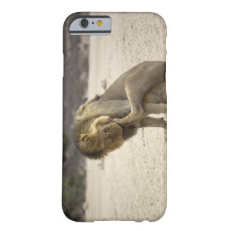 A Lion cleaning its back paw, Kgalagadi Barely There iPhone 6 Case
