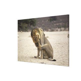 A Lion cleaning its back paw, Kgalagadi Canvas Print