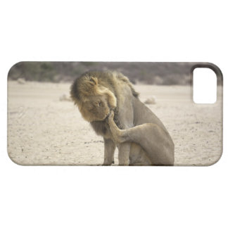A Lion cleaning its back paw, Kgalagadi iPhone 5 Cover