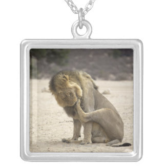 A Lion cleaning its back paw, Kgalagadi Silver Plated Necklace