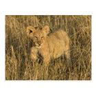 A lion cub laying in the bush in the Maasai Mara Postcard