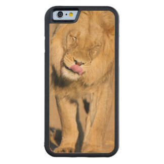A Lion shaking its head and licking its mouth Carved Maple iPhone 6 Bumper Case